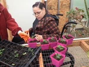 student transplanting snow pea seedlings
