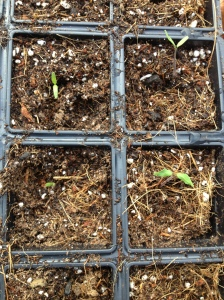 tray of transported seedlings