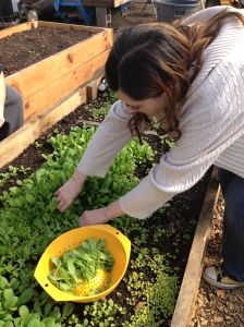 a student picking arugula
