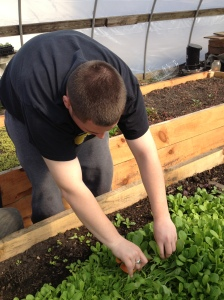 another student picking arugula
