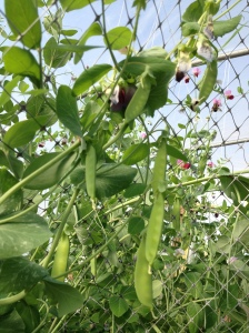 snap peas on a vine