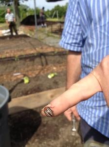 texas potato beetle