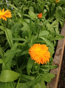 more calendula flowers