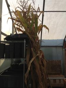 corn husk stalk